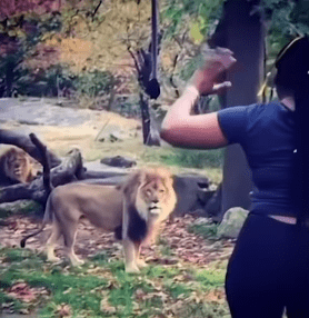 Myah Autry waving at the lions while inside their enclosure. | Source: YouTube/NBC New York