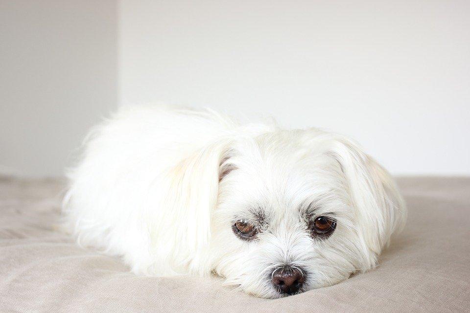 Perrito blanco de raza pequeña recostado sobre una colcha con semblante triste. | Imagen: Pixabay