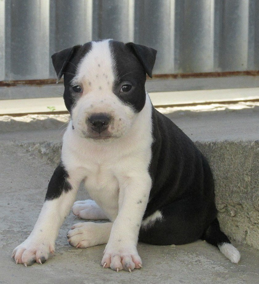 A 45-day-old black nose female puppy photographed on August 29, 2015 | Photo: Wikipedia/Dog789/Dog black and white puppy/CC BY-SA 4.0