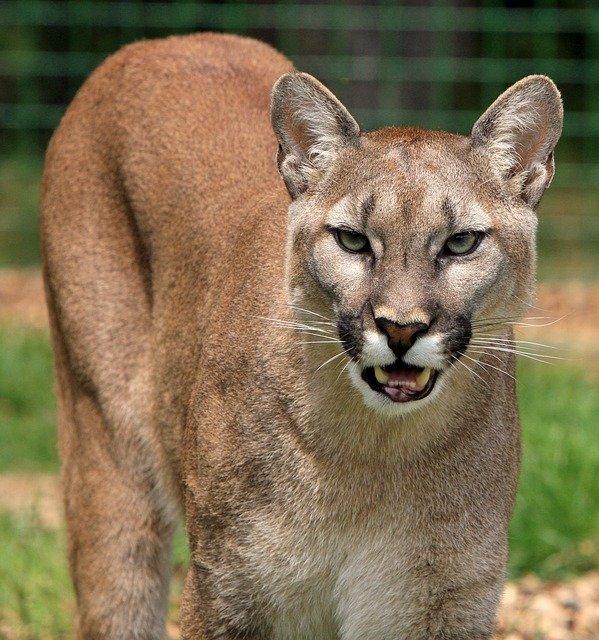 Puma. Source : Pixabay