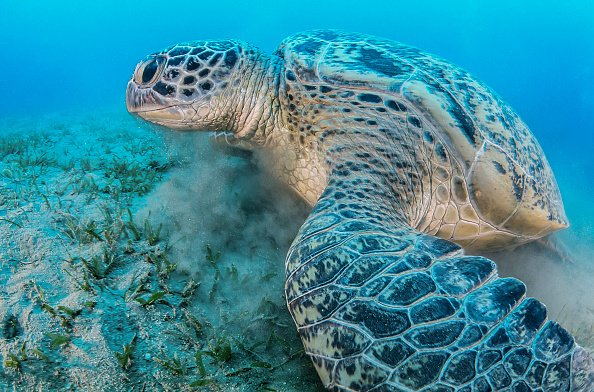 Green sea turtle feeding on sea grass in a shallow water. | Photo: Getty Images
