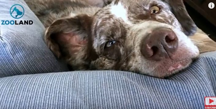 Sadie allongée sur le canapé. | Photo: YouTube/Zooland