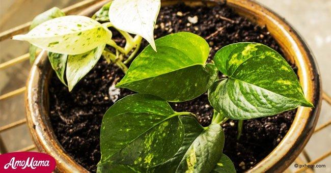 avoir ces plantes chez vous pourrait attirer l 39 argent et l 39 amour. Black Bedroom Furniture Sets. Home Design Ideas