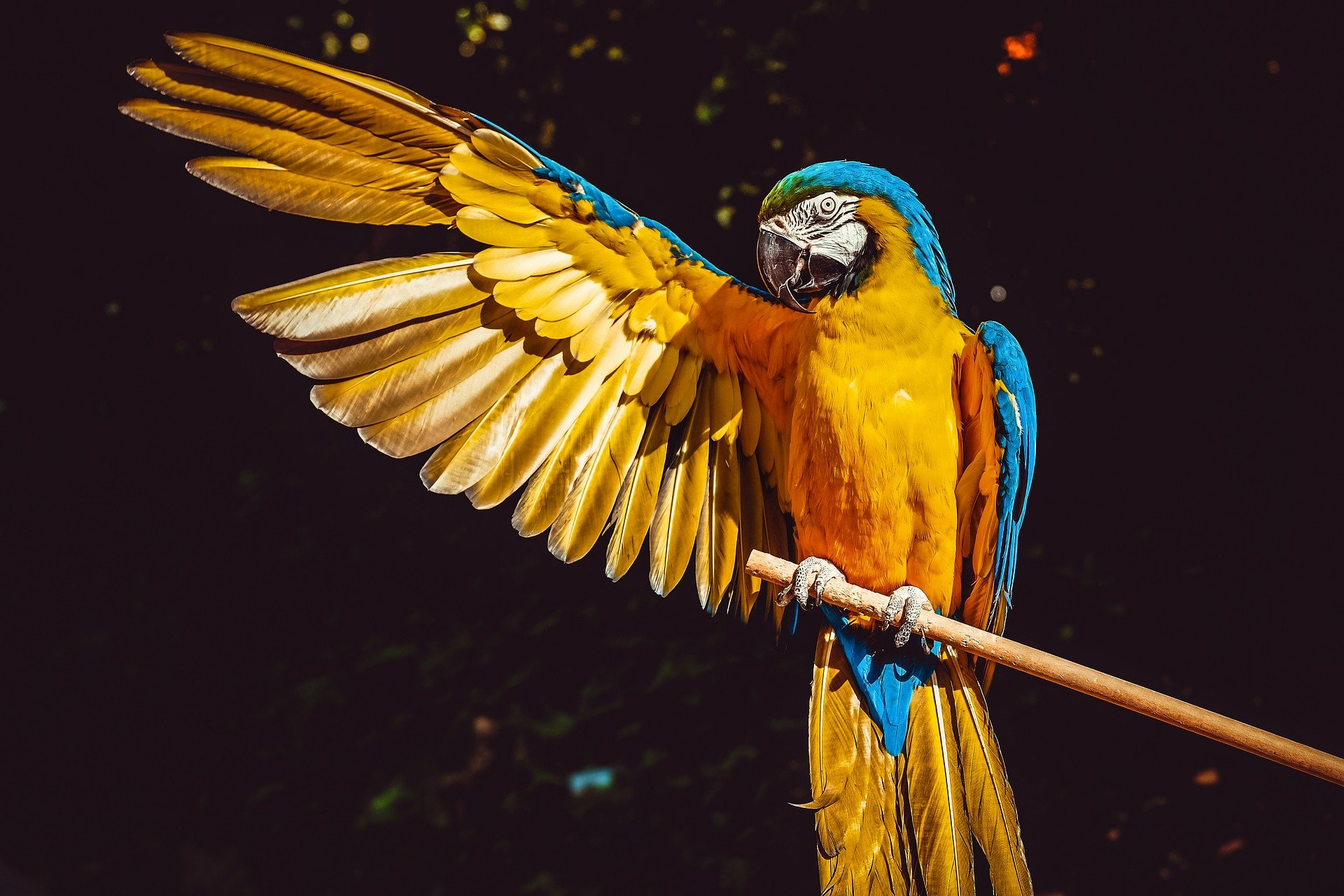A portrait picture of a blue and gold macaw.   Photo: Pixabay.