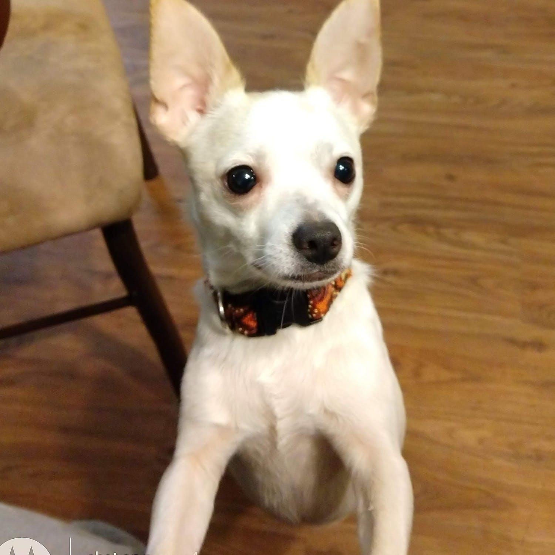Chihuahua blanc. | Image : Pexels