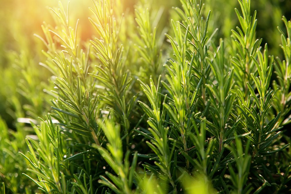 A close up photo of grass with dew.   Source: Shutterstock