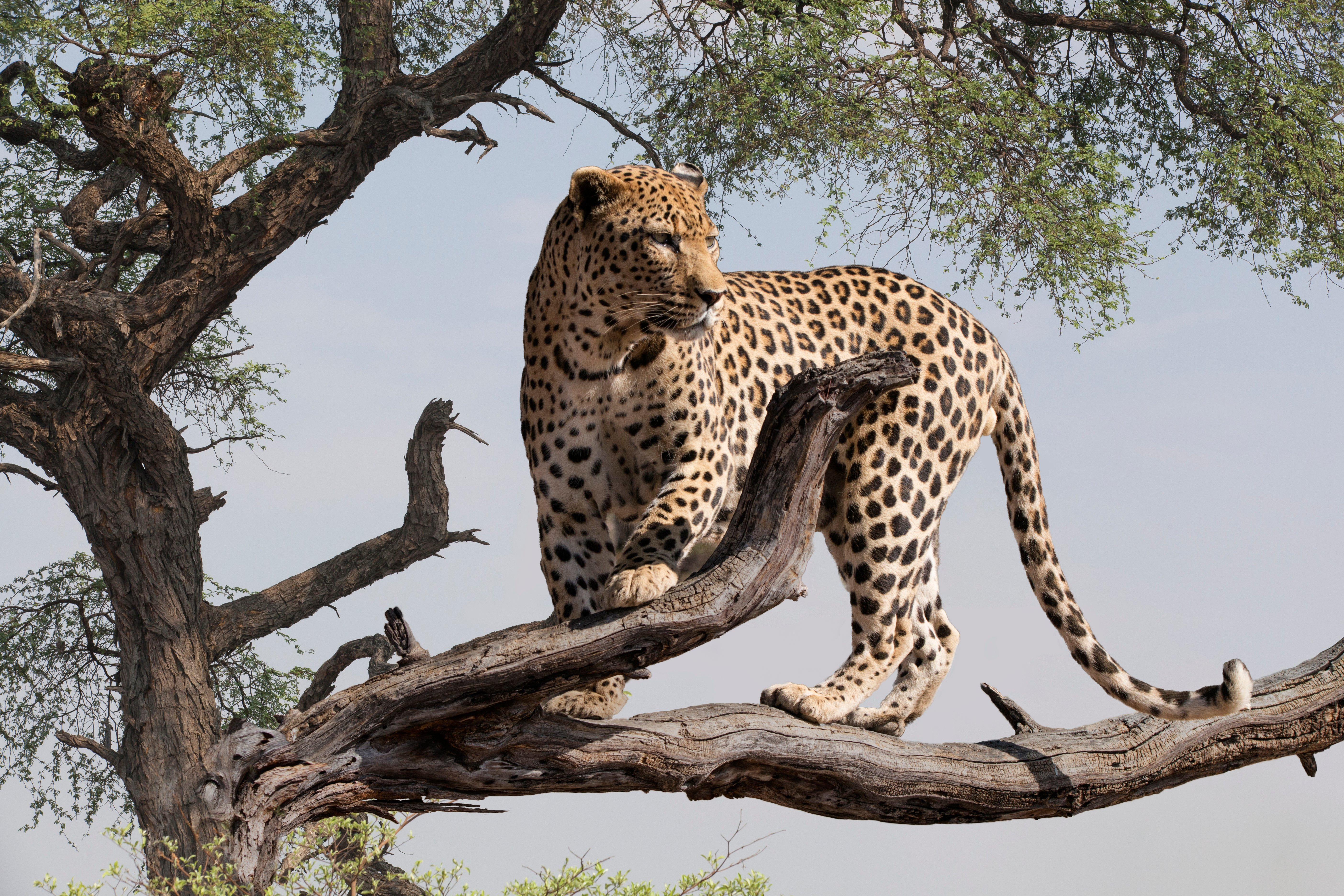 A leopard on tree branch looking out into the distance | Photo: Shutterstock