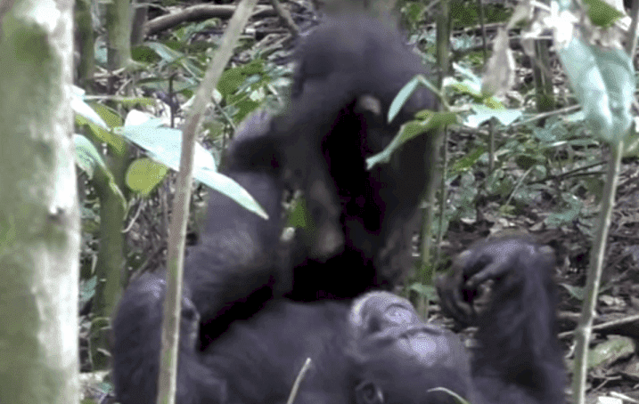 Source: YouTube/The Tai Chimpanzee Project