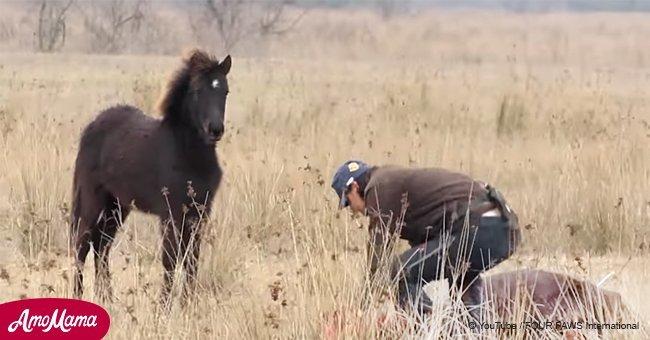 """Un homme a sauvé un cheval sauvage au pattes enchaînés avant que l'animal ne """"remercie"""" son sauveur d'une façon incroyable"""
