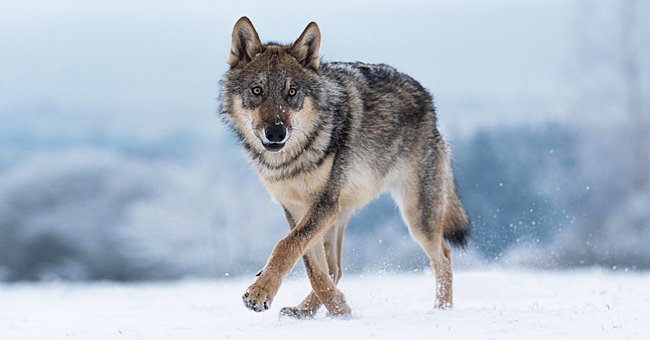 The Wisconsin wolf hunt ended 3 days earlier after 216 wolves were killed. 2021. | Photo: Shutterstock