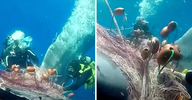 Divers Try to Save Whale Whose Tail Got Wrapped in a Fishing Net