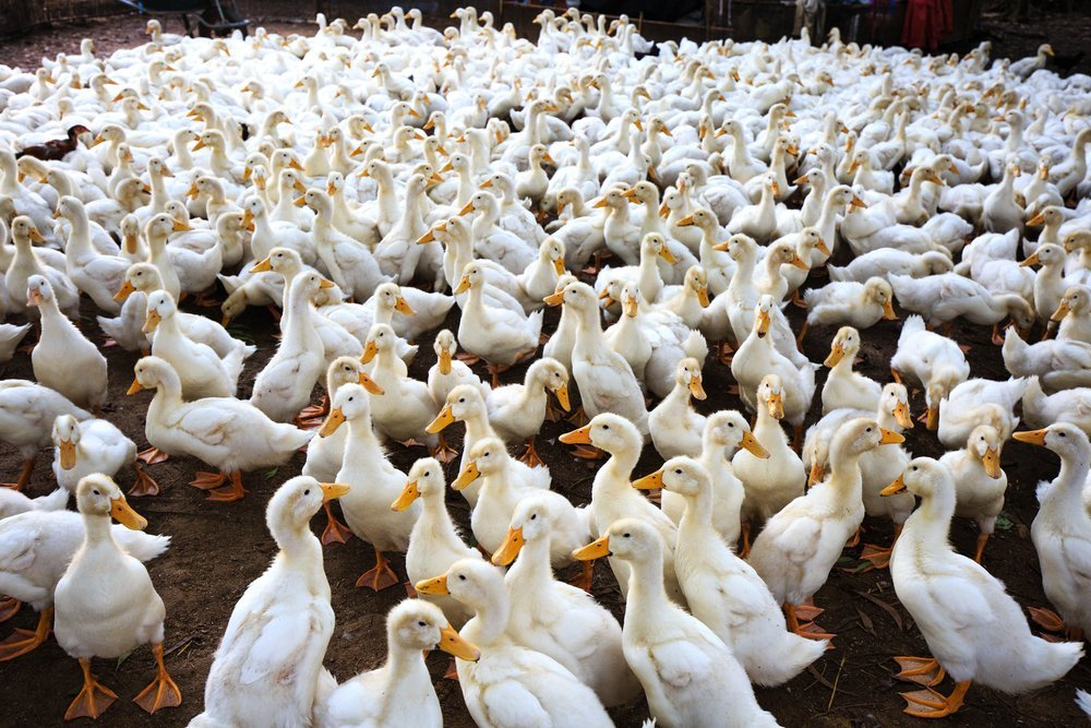 Lots of ducks on the ground | Photo: Shutterstock