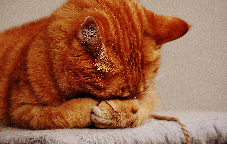 Ginger cat asleep.   Source: Pexels