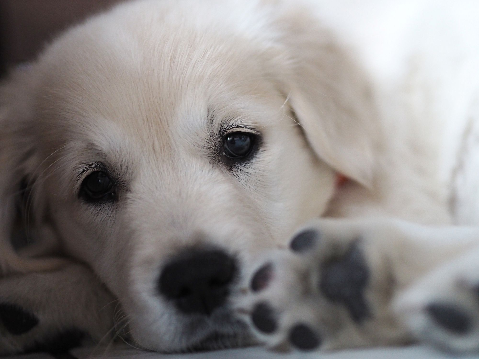 Puppy lying down and looking at the camera. | Photo: Getty Images
