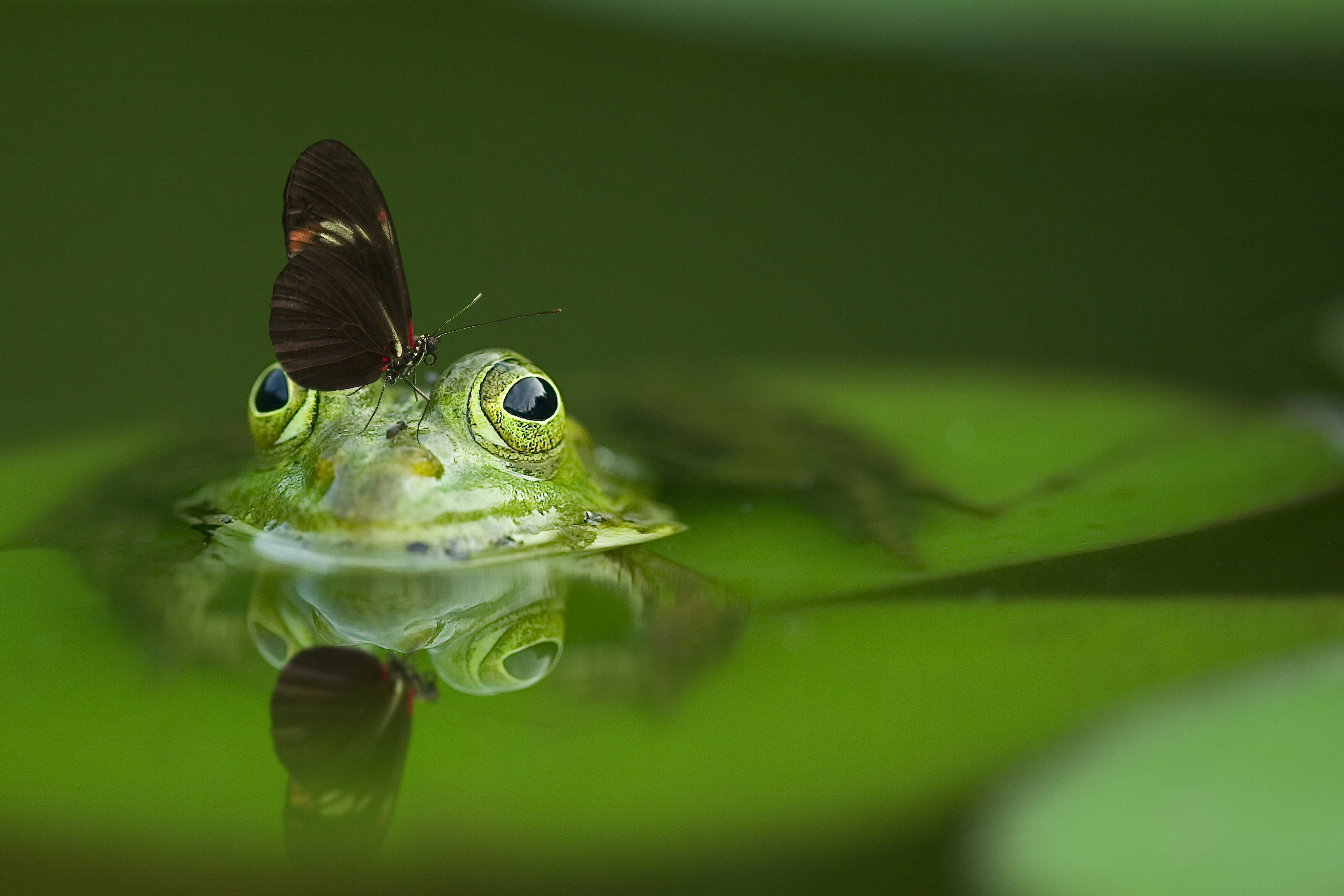 Pictured - A long wing butterfly on top of a frog's head soaking on water   Source: Pexels