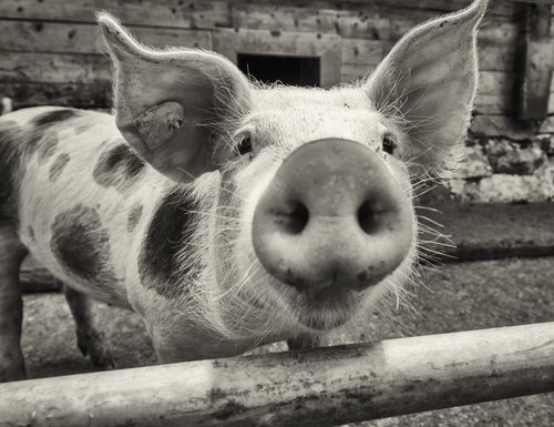 A Pig on a farm similar in appearance to Princess. | Source: Shutterstock