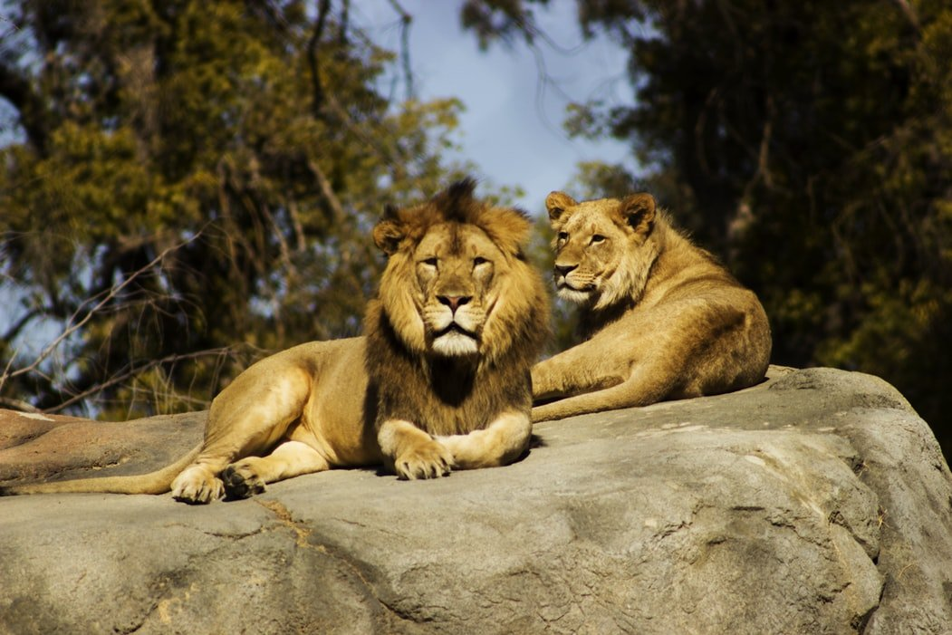 Two lions resting on a rock in a zoo | Photo: Unsplash