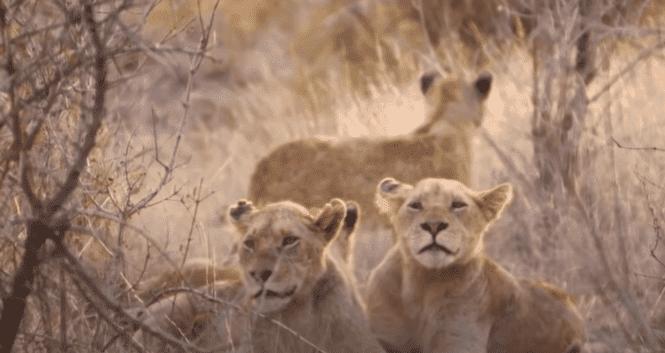 A pride of lions resting at the Sibuya Game Reserve   Photo: Vida Loca