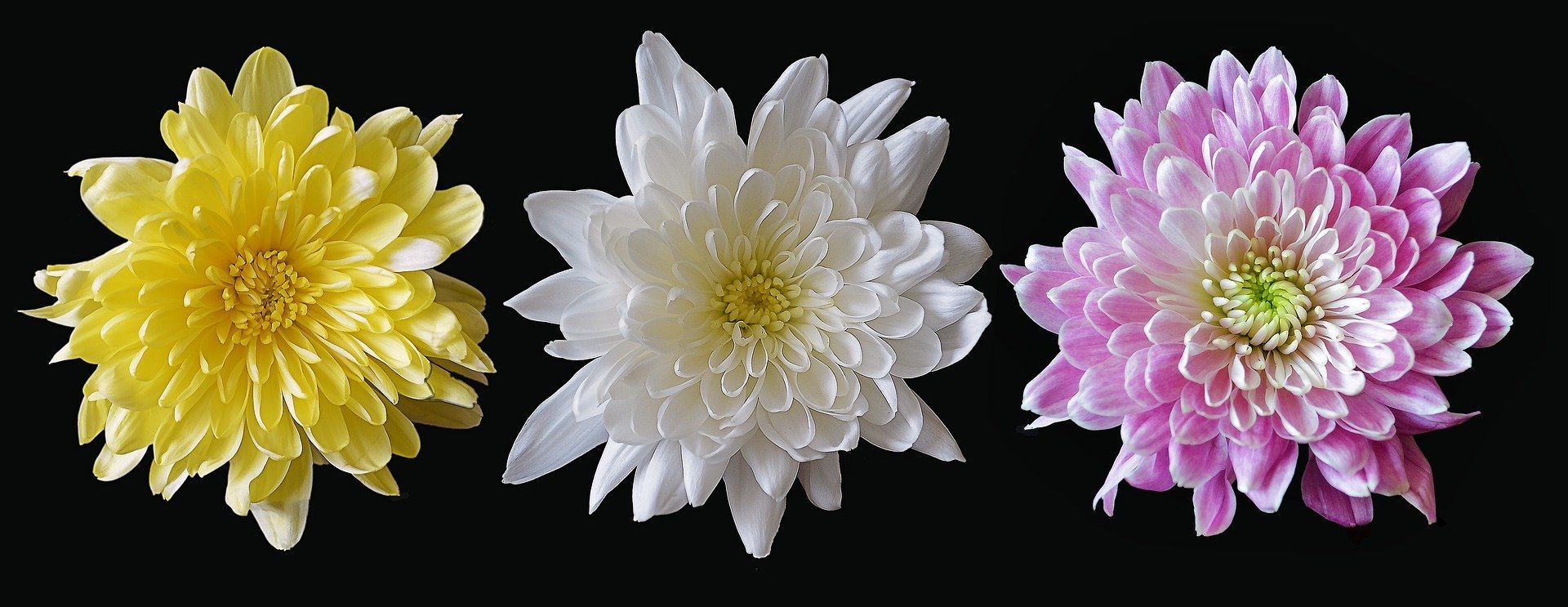 A yellow, white, and pink chrysanthemum   Photo: Pixabay/A Quinn
