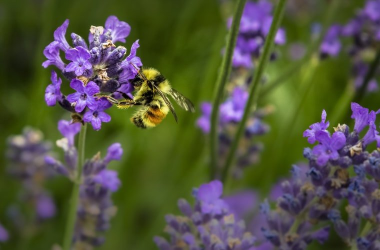 A bee sipping nectar from a flower.   Photo: Unsplash