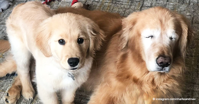 Blind Golden Retriever Has Formed an Adorable Bond with a Puppy, Who Serves as His Guide