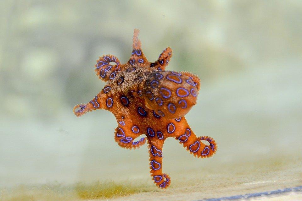 Giftiger Blaukehlkopf-Oktopus - Foto: Pixabay