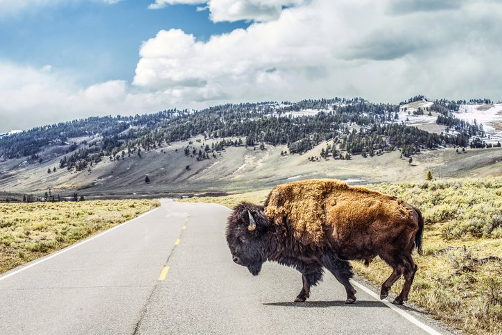 A photo of the American bison or simply bison, also commonly known as the American buffalo or simply buffalo. | Photo: Getty Images