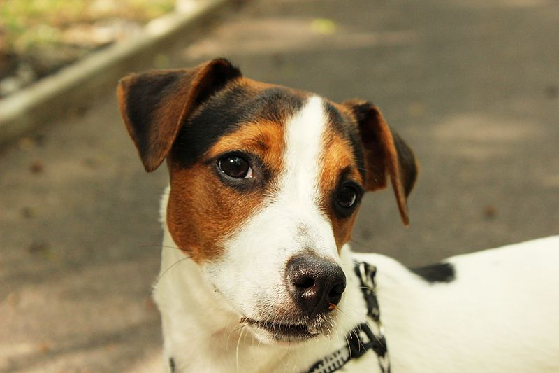 Jack Russell Terrier posando. | Imagen: Wikimedia Commons