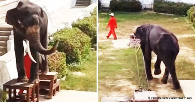 Painful video shows a malnourished elephant forced to do cruel circus tricks