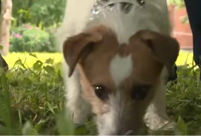 Macho, el Jack Russel que salvó a una bebé abandonada, olfatea en el lugar. | Foto: YouTube/Россия 24