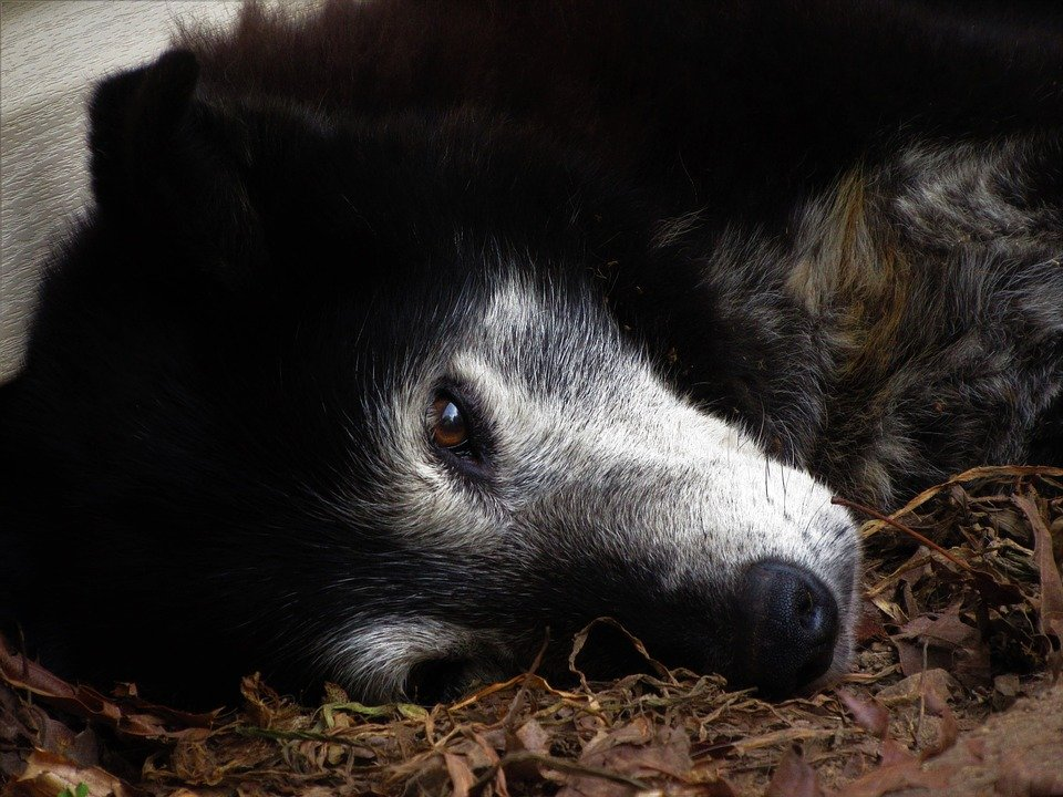 Perro anciano acostado.| Imagen: Max Pixel
