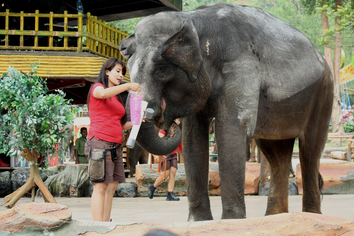 A photo of an Asian woman playing with an elephant in the zoo.