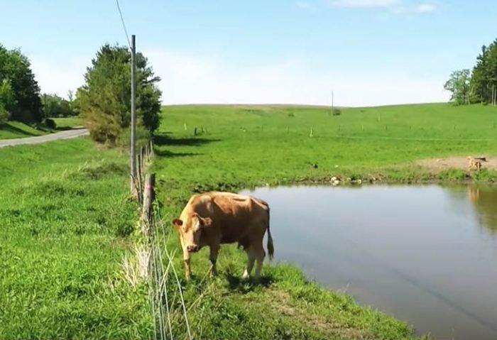 Un homme s'arrête pour filmer des vaches près de la route quand soudain l'une d'entre elles attire son attention