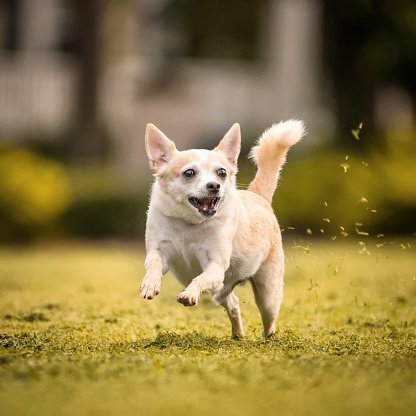Photo of a tan and white Chihuahua running fast with mouth open in yellow grass. | Photo: Getty Images