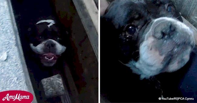 Les sauveteurs d'animaux partagent une vidéo de la sauvegarde d'un bulldog qui était bloqué et ne pouvait pas bouger pendant 3 heures
