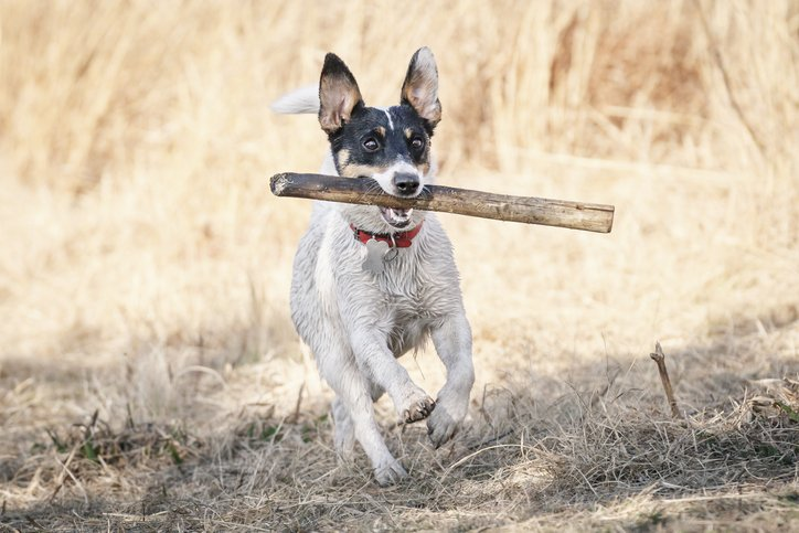 Hund mit Stock I Quelle: Getty Images