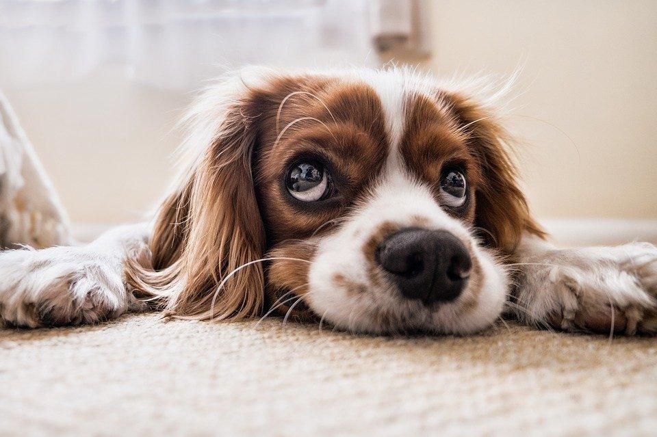 Perro con mirada triste esperando en el piso | Foto: Pixabay