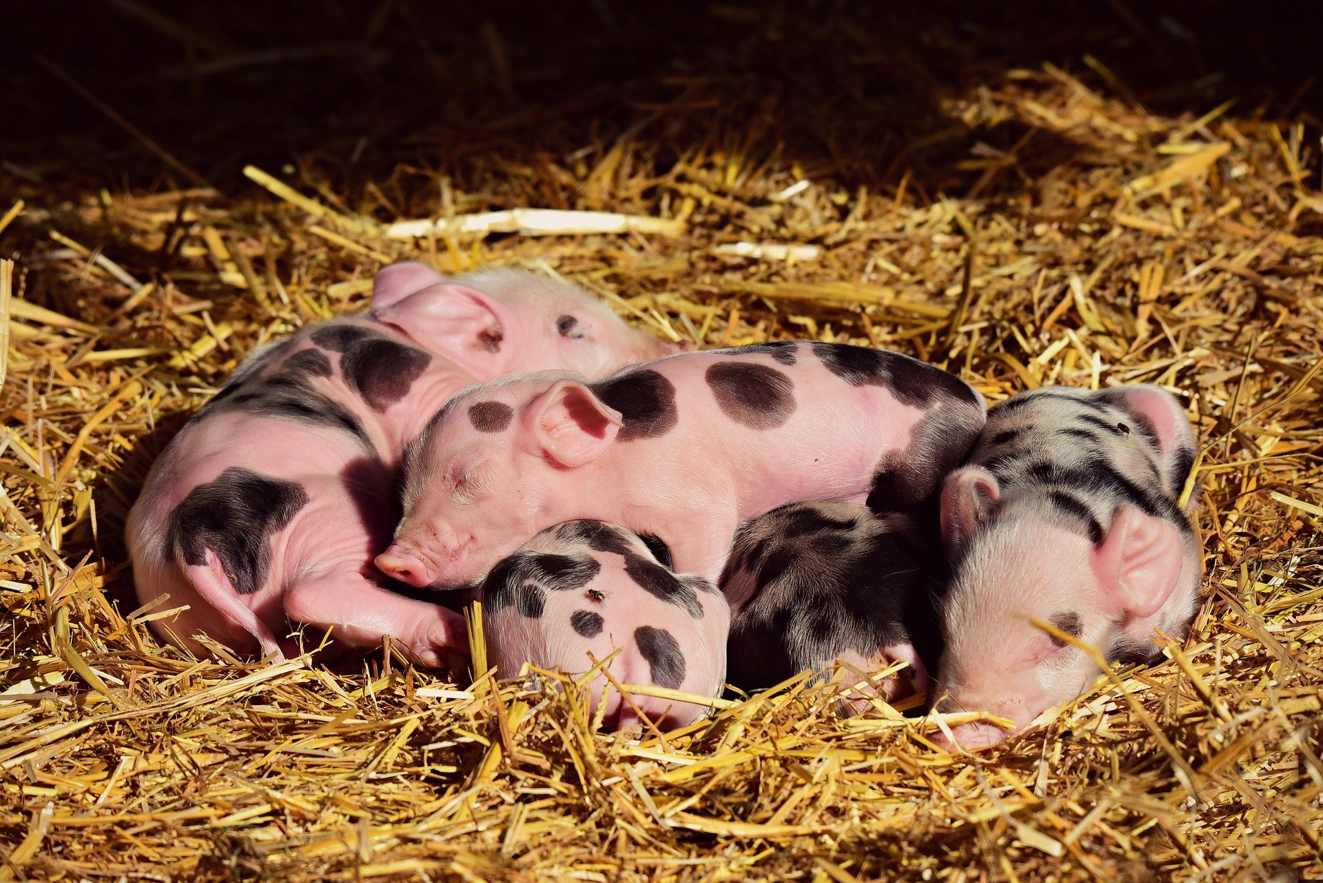 The next joke is about some adorable piglets! | Photo: Pixabay/ Mabel Amber, who will one day
