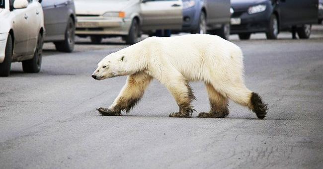 Desoladoras fotos de un oso polar hambriento y cansado vagando por una ciudad rusa