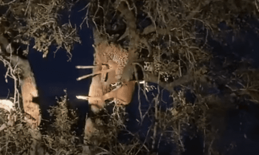 The male leopard holding the impala on top of the tree | Photo: Youtube/RFI English