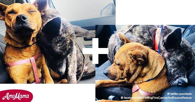 Des chiens effrayés refusent d'être séparés après avoir été sauvés
