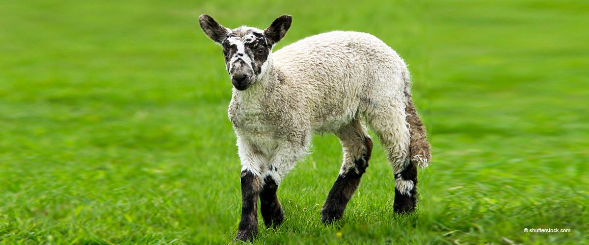 Adorable vidéo montrant une petite agnelle sautillant et dansant dans une clinique vétérinaire