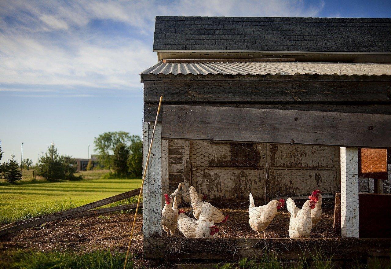 Hühner im Hühnerstall - Quelle: Pixabay