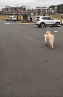 Ellie the golden retriever heading back to her owner with the curbside pickup of their takeout chicken order. | Source: Facebook/Chick-fil-A at Carraway Village.