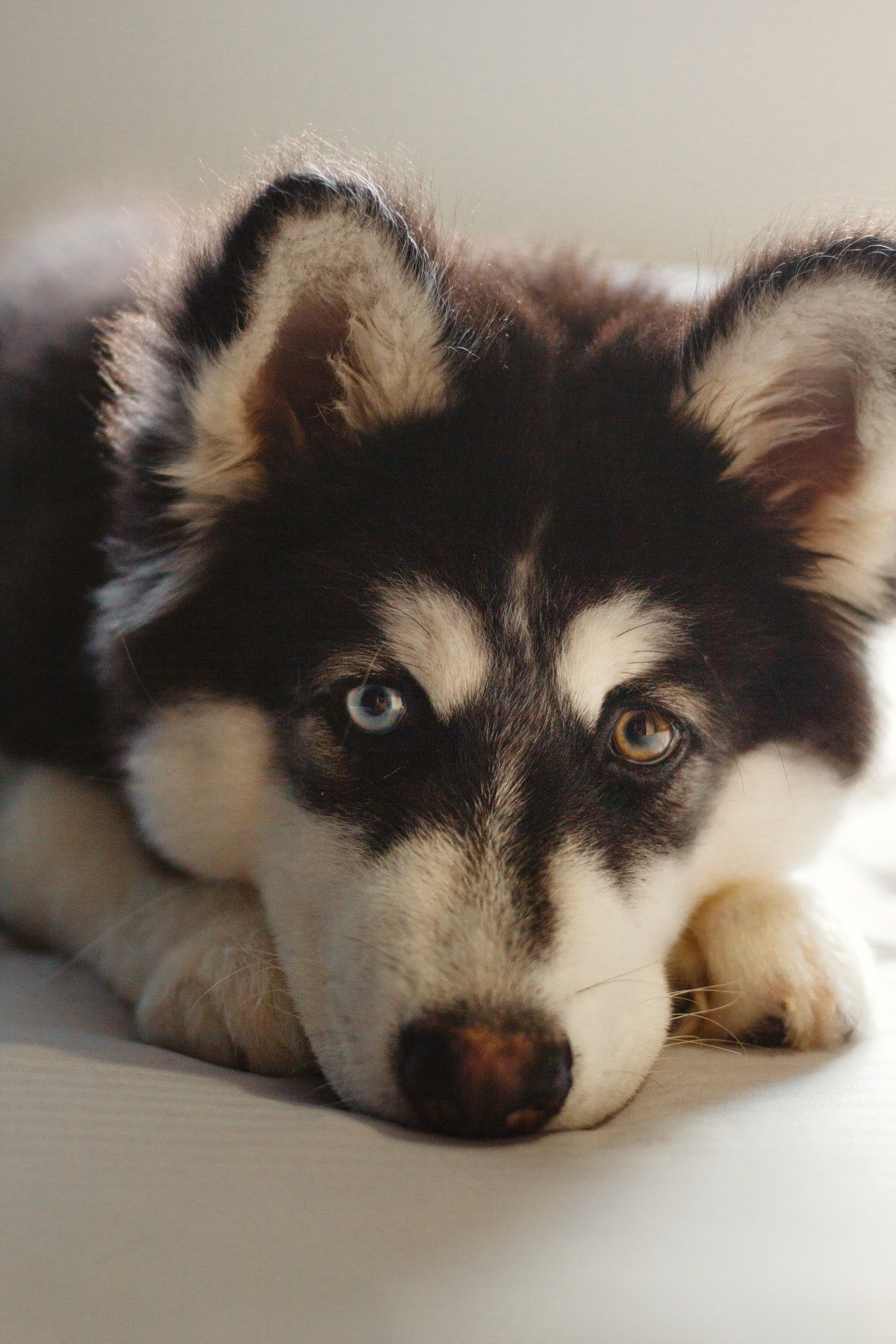 Black and White Siberian Husky| Photo:  Lucas Andrade from Pexels