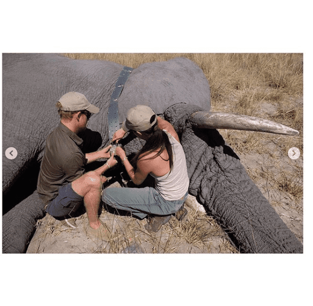 The Duke and Duchess placing a device on an elephant in Botswana. I Image: Instagram/ sussexroyal