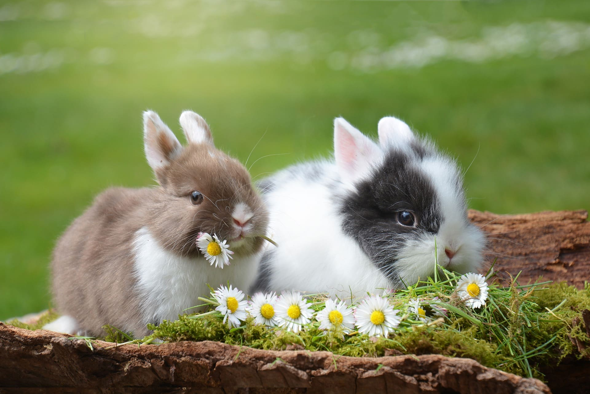 Two fluffy rabbits eating flowers  | Source: Pixabay