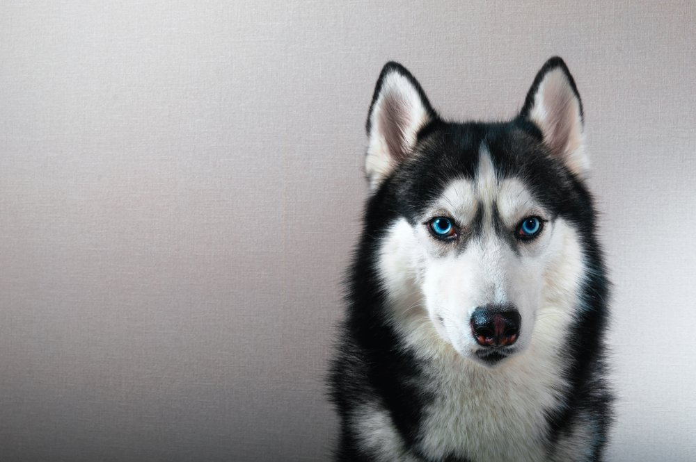 Pictured - A photo of a black and white Siberian husky dog with blue eyes | Photo: Shutterstock