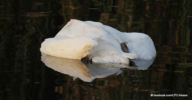 Tragédie à Erstein : de pauvres cygnes retrouvés morts après avoir été nourris avec du pain