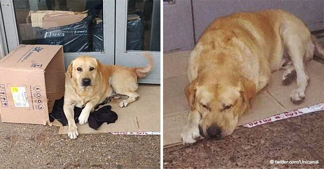 Devoted Dog Waits at the Doorway of a Hospital for More Than a Week for Its Dead Owner